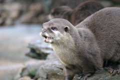 Otter. An otter on a river bank Stock Photos