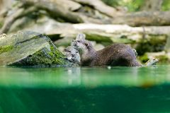 Otter. The otter eating fish for lunch Stock Images