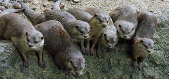 Otter Royalty-vrije Stock Afbeeldingen