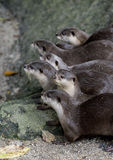 Otter Royalty-vrije Stock Foto's