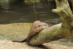 Otter. S are semi-aquatic (or in one case aquatic) fish-eating mammals. The  subfamily Lutrinae forms part of the family Mustelidae, which also includes weasels royalty free stock photo