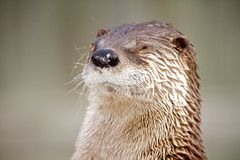 Otter. A cute otter is blinded by the white winter snow Royalty Free Stock Image