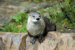 Otter. Canadian river otter in zoo Stock Image