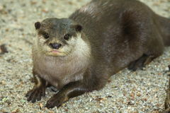 Otter. S are semi-aquatic (or in one case aquatic) fish-eating mammals. The  subfamily Lutrinae forms part of the family Mustelidae, which also includes weasels royalty free stock image