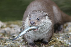 Otter. Close up of a otter feeding Royalty Free Stock Photos