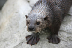Otter Stock Afbeelding