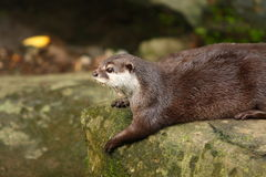 Free Otter Stock Photo - 14782450