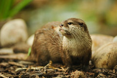 Otter Royalty Free Stock Photography