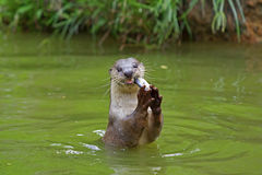 Free Otter Royalty Free Stock Photography - 16109997
