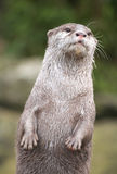 Otter. Keeping watch over his freinds Royalty Free Stock Photography