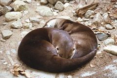 Otter. Two otter sleeping in a ying yang position on a rocky bed Royalty Free Stock Images