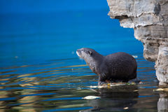 Otter. A small otter look at something royalty free stock image