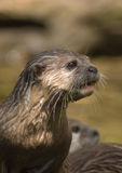Otter 2. Portrait of an otter, showing neck and head with whiskers and water drops Royalty Free Stock Photo