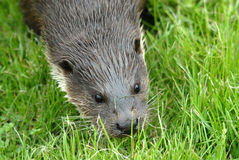 Otter. With wet fur in grass Stock Image