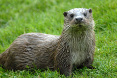 Otter. With wet fur sitting on a meadow Stock Photos