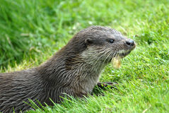Otter. With wet fur feeding on a meadow Stock Photos