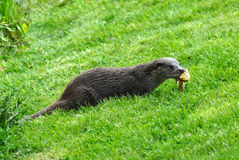 Otter. With wet fur feeding on a meadow Stock Image