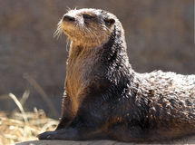 Otter Royalty Free Stock Image