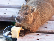 Otter. Andatra eats a piece of bread Royalty Free Stock Photography