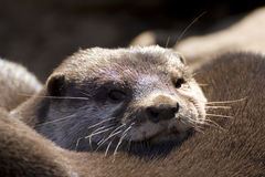 Otter Royalty-vrije Stock Afbeelding