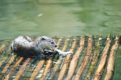 Otter. Eating fish on raft Royalty Free Stock Image