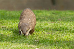 An otter Royalty Free Stock Photo