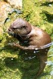 Otter Lizenzfreie Stockfotografie