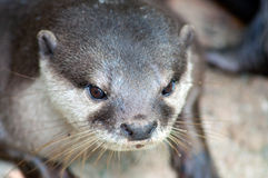 Otter. Display at Singapore Zoological Gardens stock images