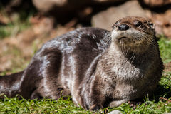 Otter. Sunbathing in the sun at the zoo stock image