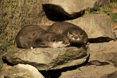 Otter. Small water otters on Grid Royalty Free Stock Image