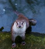 Portrait of wild otter in the river Royalty Free Stock Photos