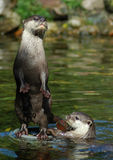 Otter 3. Two otters, one standing on its hind legs, the other one in the water, holding a stone Stock Image