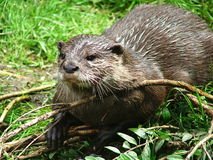 Otter. Posing Stock Images