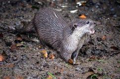 Otter Stock Fotografie