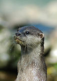 Otter 4. Portrait of an otter, showing neck, head and whiskers with water drops royalty free stock photo