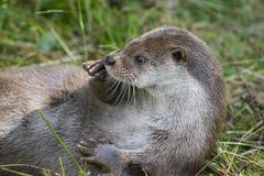 otter Royalty-vrije Stock Foto