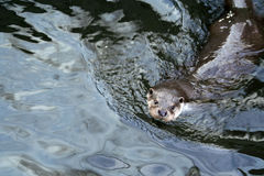 Otter. An otter swimming in the water Royalty Free Stock Images
