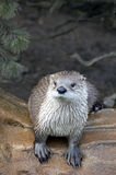 Otter Stock Photos