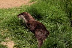 Otter Royalty Free Stock Photos
