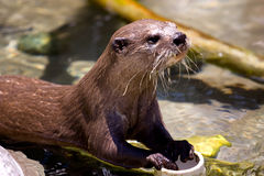 Otter Stock Image