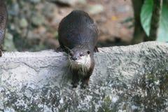 Free Otter Royalty Free Stock Photos - 57433828
