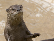 Otter. Asian small-clawed otter standing with paw outreached royalty free stock photography