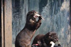 otter Lizenzfreies Stockfoto