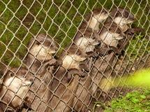 Otter achter omheining stock afbeelding