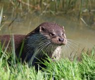 Otter, Animal, Close-Up, Portrait Royalty Free Stock Photography