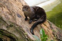 otter ariranha Obraz Royalty Free