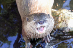 Otter. Asian nice small clawed otter stock image