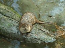Otter auf einem Protokoll Lizenzfreies Stockfoto