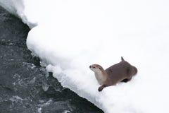 Otter auf einem schneebedeckten Riverbank Stockbild