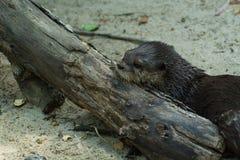 Otter auf Klotz Stockfotografie